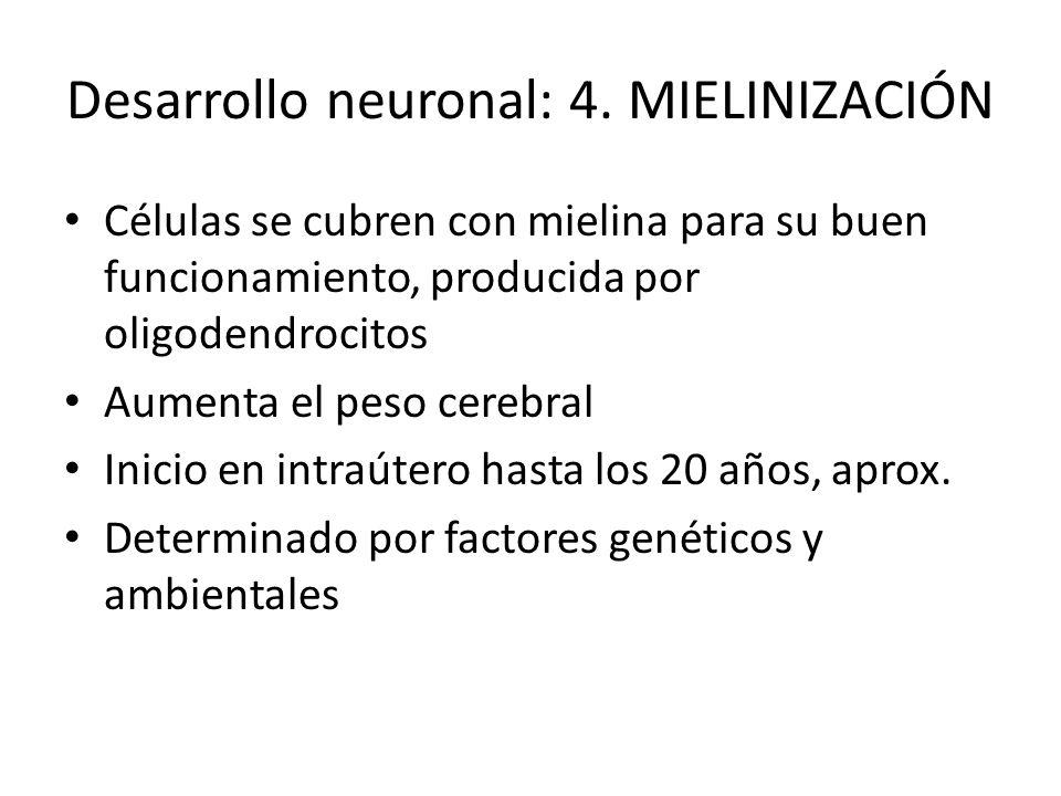 Desarrollo neuronal: 4. MIELINIZACIÓN Células se cubren con mielina para su buen funcionamiento, producida por oligodendrocitos Aumenta el peso cerebr