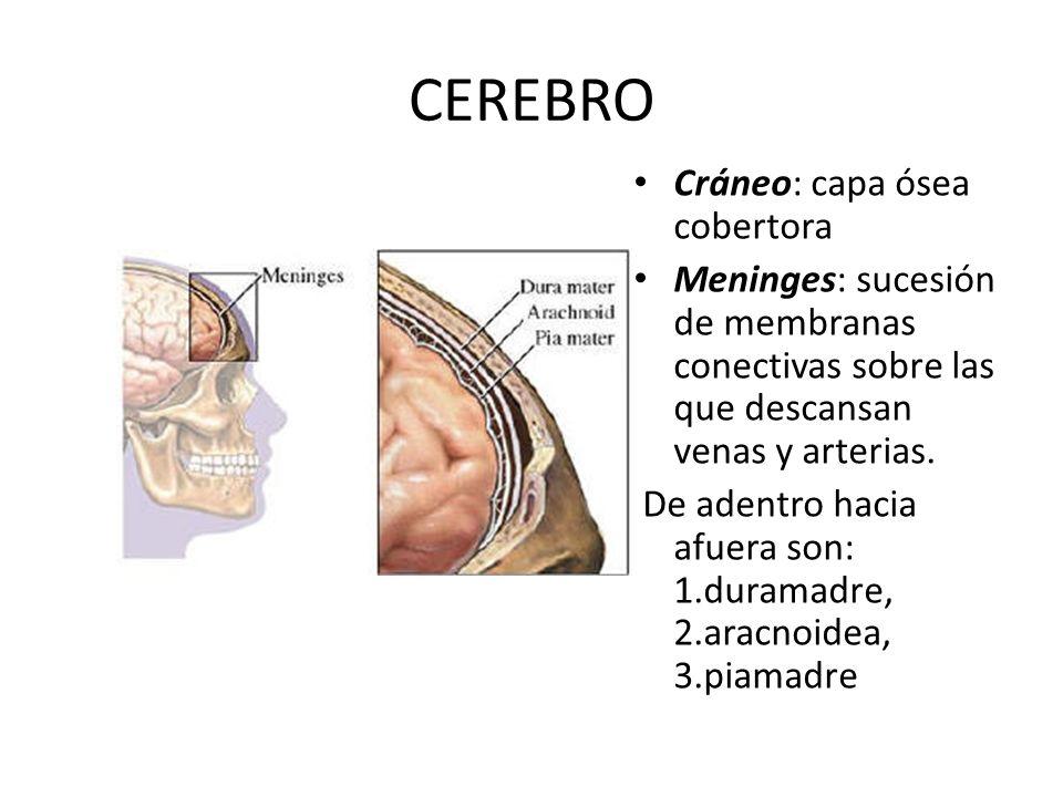 CEREBRO Cráneo: capa ósea cobertora Meninges: sucesión de membranas conectivas sobre las que descansan venas y arterias. De adentro hacia afuera son: