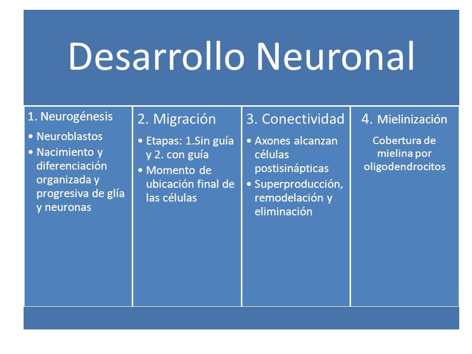 Desarrollo Neuronal 1. Neurogénesis Neuroblastos Nacimiento y diferenciación organizada y progresiva de glía y neuronas 2. Migración Etapas: 1.Sin guí