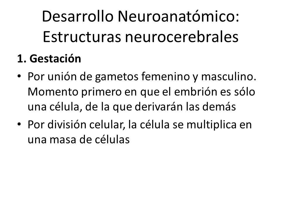 Desarrollo Neuroanatómico: Estructuras neurocerebrales 1. Gestación Por unión de gametos femenino y masculino. Momento primero en que el embrión es só