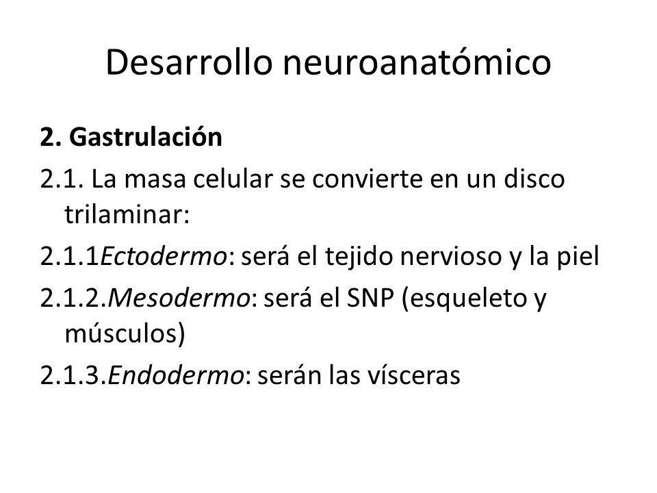Desarrollo neuroanatómico 2. Gastrulación 2.1. La masa celular se convierte en un disco trilaminar: 2.1.1Ectodermo: será el tejido nervioso y la piel
