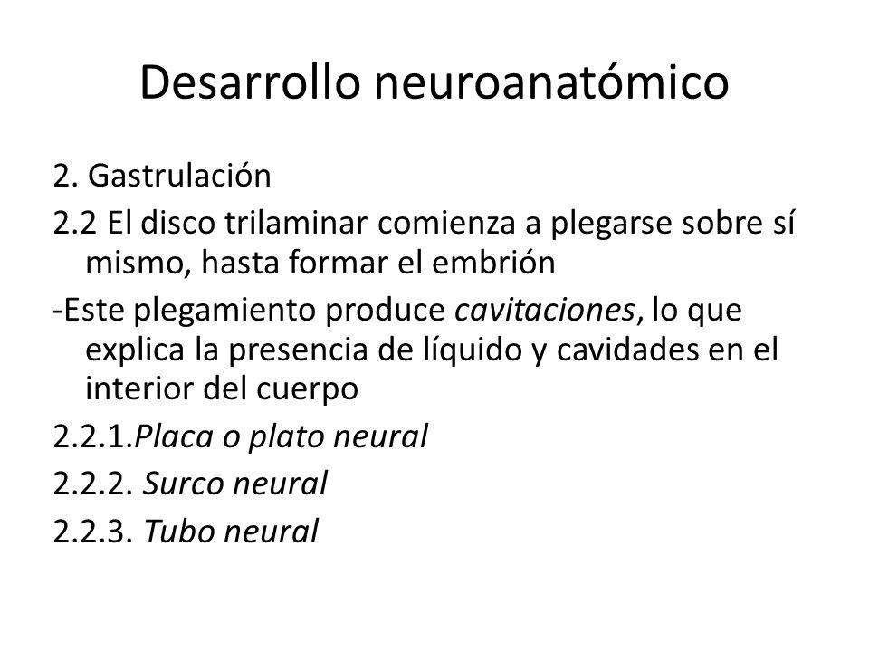 Desarrollo neuroanatómico 2. Gastrulación 2.2 El disco trilaminar comienza a plegarse sobre sí mismo, hasta formar el embrión -Este plegamiento produc