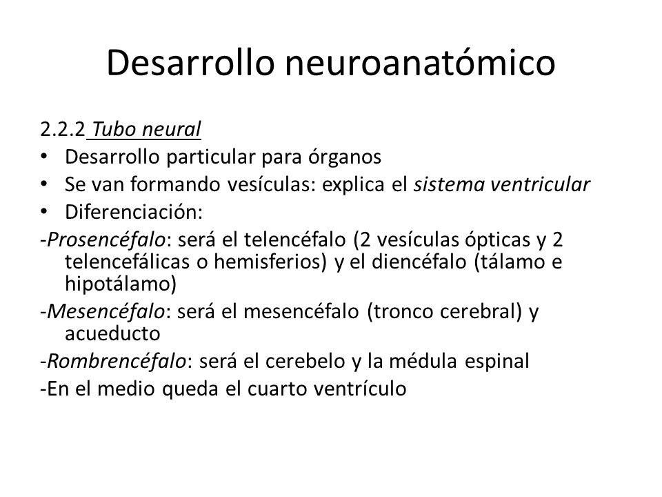 Desarrollo neuroanatómico 2.2.2 Tubo neural Desarrollo particular para órganos Se van formando vesículas: explica el sistema ventricular Diferenciació
