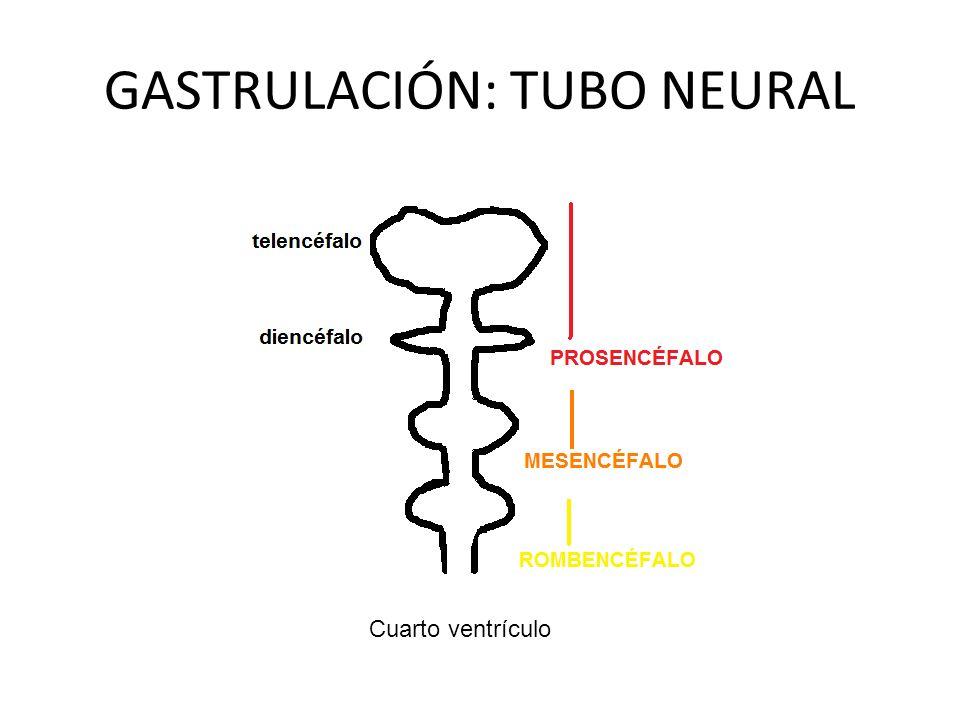 GASTRULACIÓN: TUBO NEURAL Cuarto ventrículo