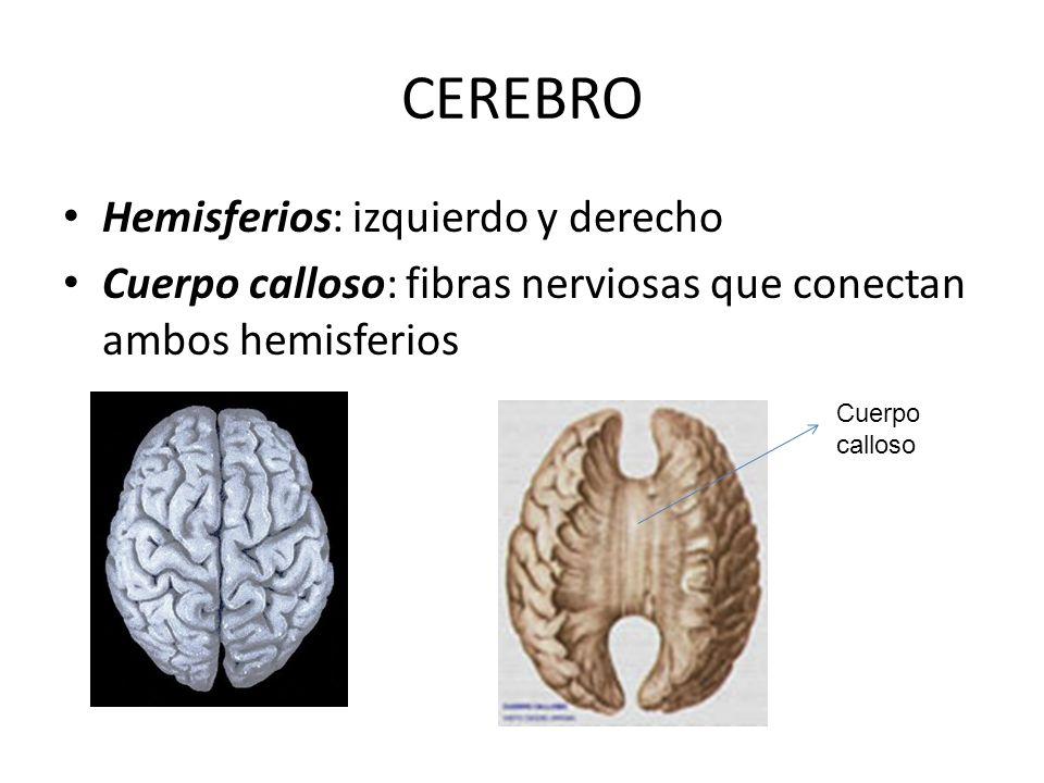 CEREBRO Hemisferios: izquierdo y derecho Cuerpo calloso: fibras nerviosas que conectan ambos hemisferios Cuerpo calloso