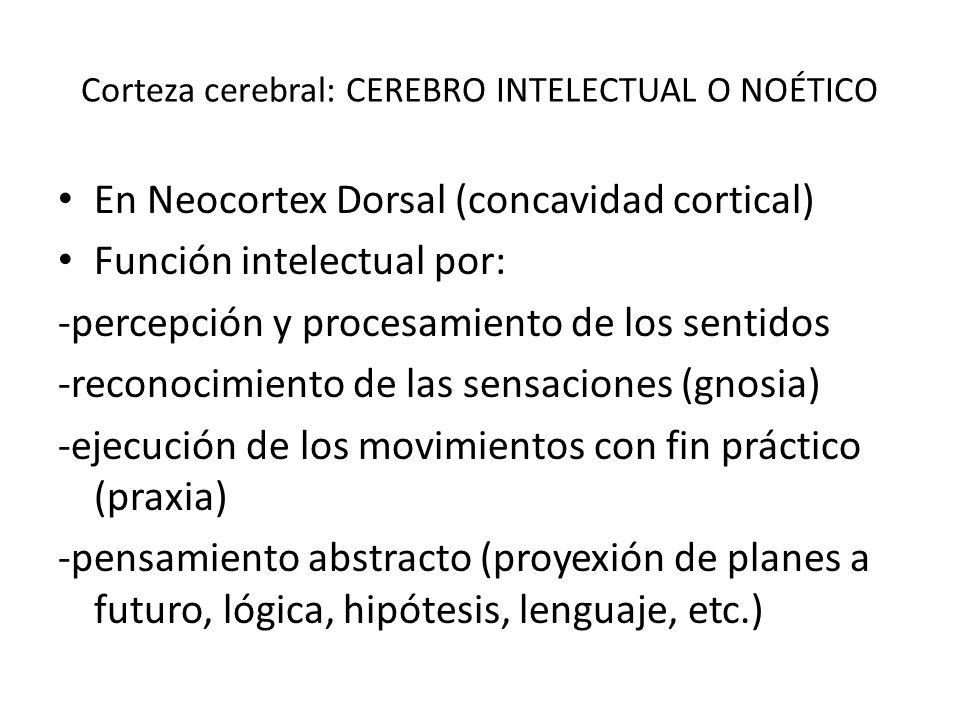 Corteza cerebral: CEREBRO INTELECTUAL O NOÉTICO En Neocortex Dorsal (concavidad cortical) Función intelectual por: -percepción y procesamiento de los