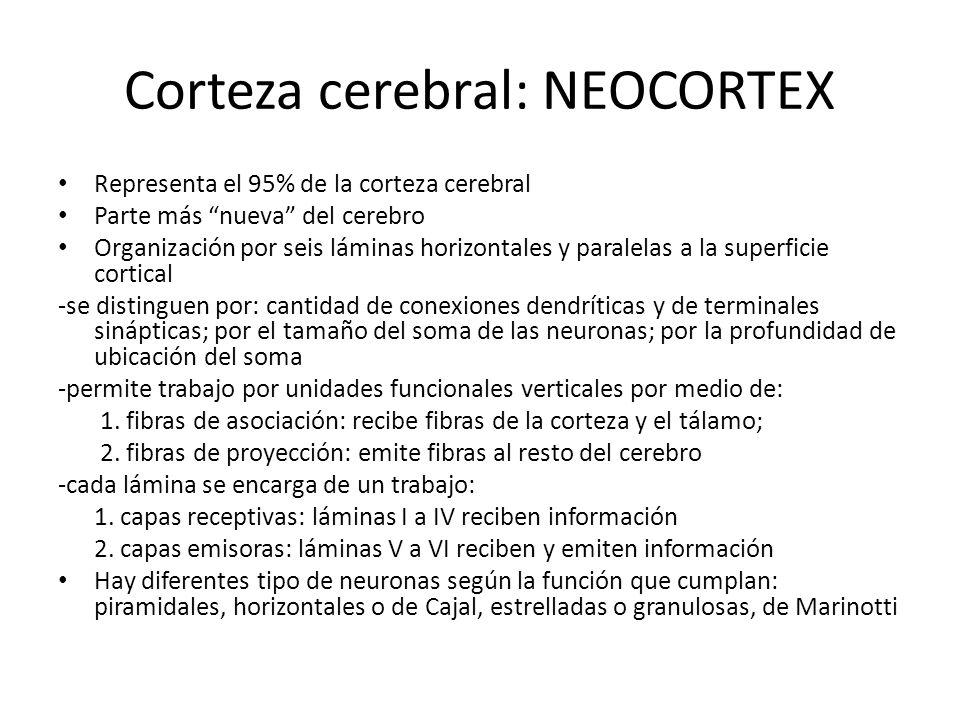 Corteza cerebral: NEOCORTEX Representa el 95% de la corteza cerebral Parte más nueva del cerebro Organización por seis láminas horizontales y paralela