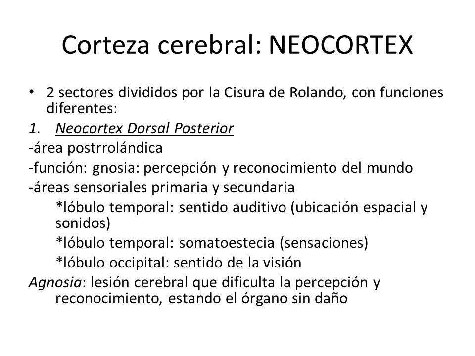 Corteza cerebral: NEOCORTEX 2 sectores divididos por la Cisura de Rolando, con funciones diferentes: 1.Neocortex Dorsal Posterior -área postrrolándica