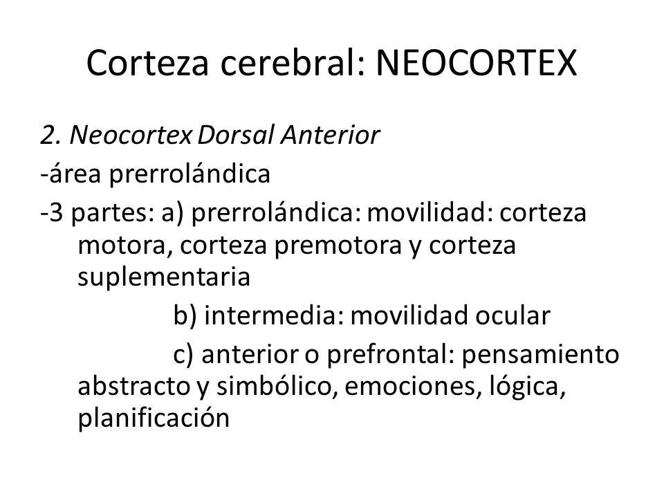Corteza cerebral: NEOCORTEX 2. Neocortex Dorsal Anterior -área prerrolándica -3 partes: a) prerrolándica: movilidad: corteza motora, corteza premotora