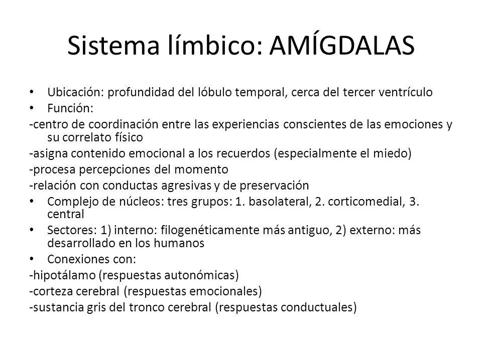 Sistema límbico: AMÍGDALAS Ubicación: profundidad del lóbulo temporal, cerca del tercer ventrículo Función: -centro de coordinación entre las experien