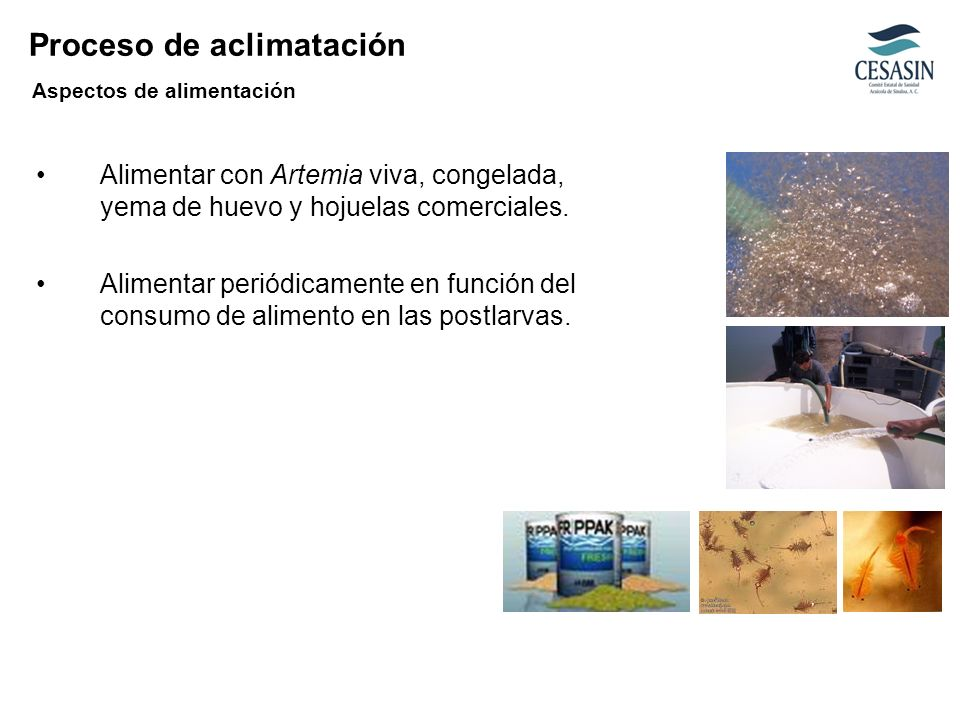 Alimentar con Artemia viva, congelada, yema de huevo y hojuelas comerciales. Alimentar periódicamente en función del consumo de alimento en las postla