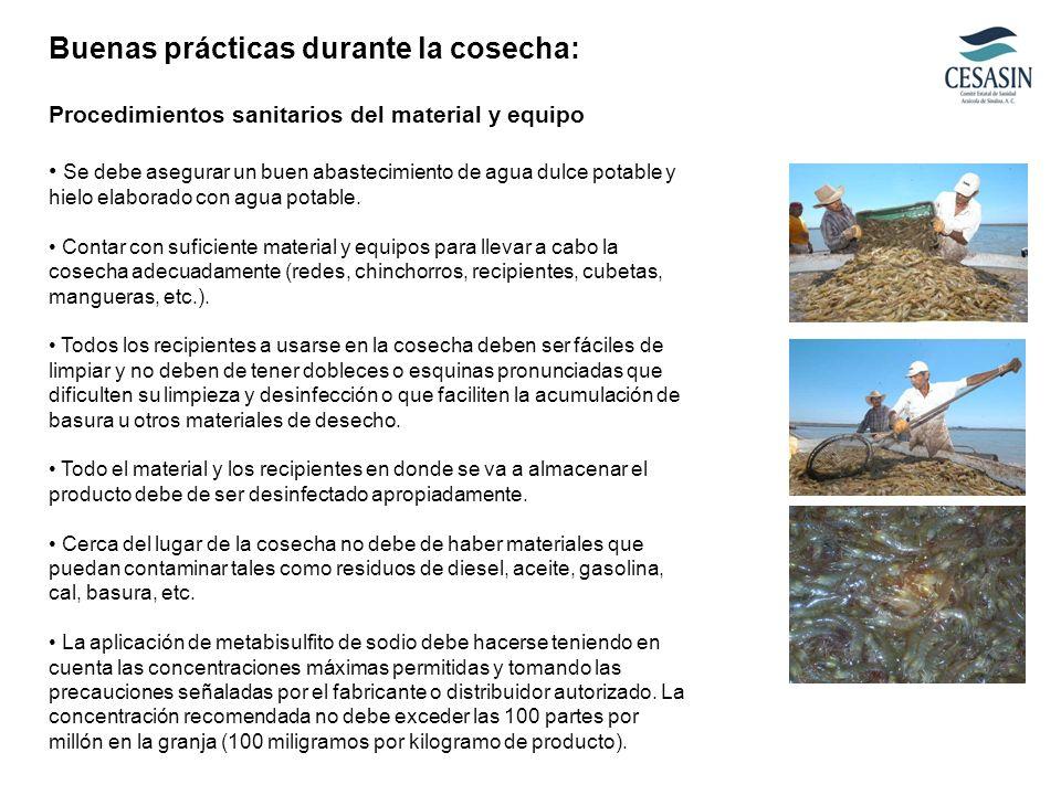 Buenas prácticas durante la cosecha: Procedimientos sanitarios del material y equipo Se debe asegurar un buen abastecimiento de agua dulce potable y h