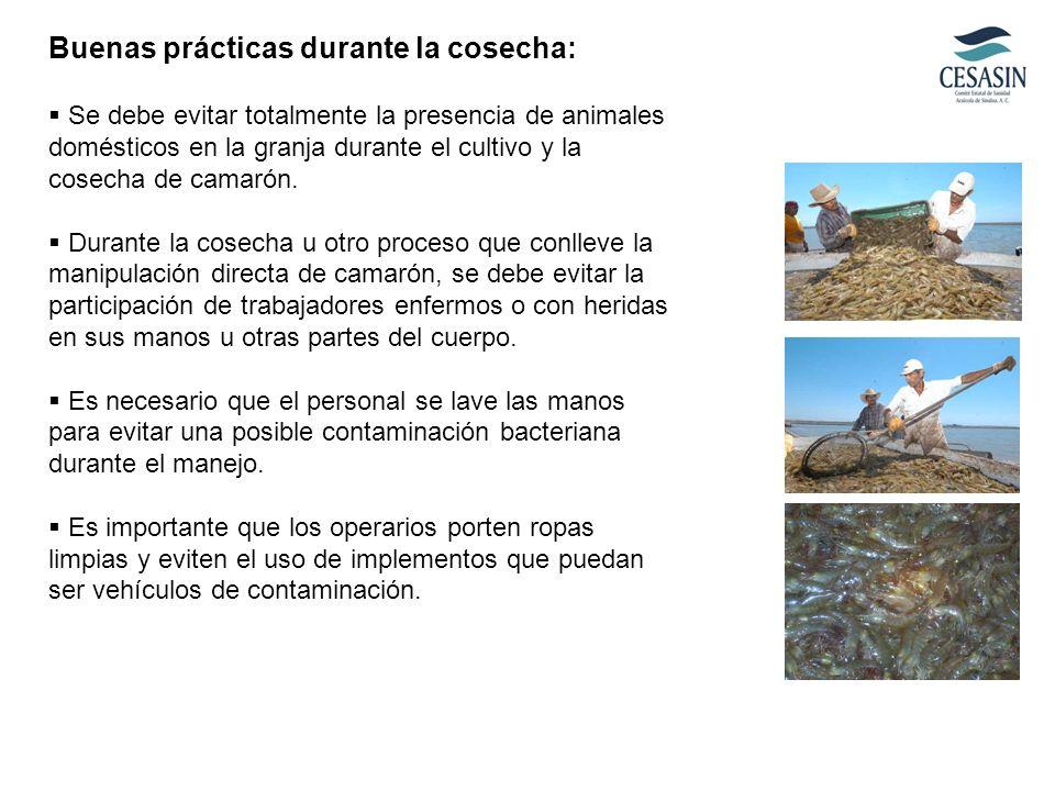 Buenas prácticas durante la cosecha: Se debe evitar totalmente la presencia de animales domésticos en la granja durante el cultivo y la cosecha de cam