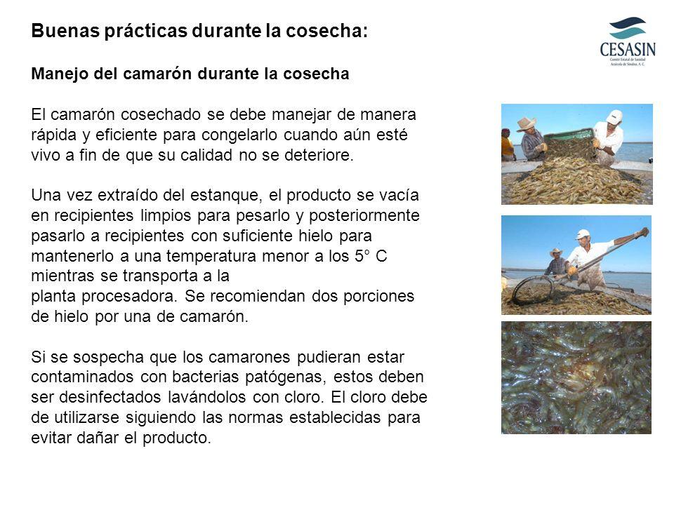 Buenas prácticas durante la cosecha: Manejo del camarón durante la cosecha El camarón cosechado se debe manejar de manera rápida y eficiente para cong