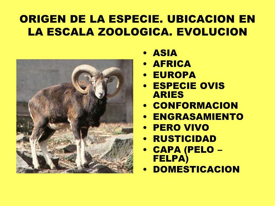 ORIGEN DE LA ESPECIE. UBICACION EN LA ESCALA ZOOLOGICA. EVOLUCION ASIA AFRICA EUROPA ESPECIE OVIS ARIES CONFORMACION ENGRASAMIENTO PERO VIVO RUSTICIDA