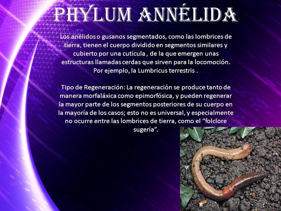 Los anélidos o gusanos segmentados, como las lombrices de tierra, tienen el cuerpo dividido en segmentos similares y cubierto por una cutícula, de la
