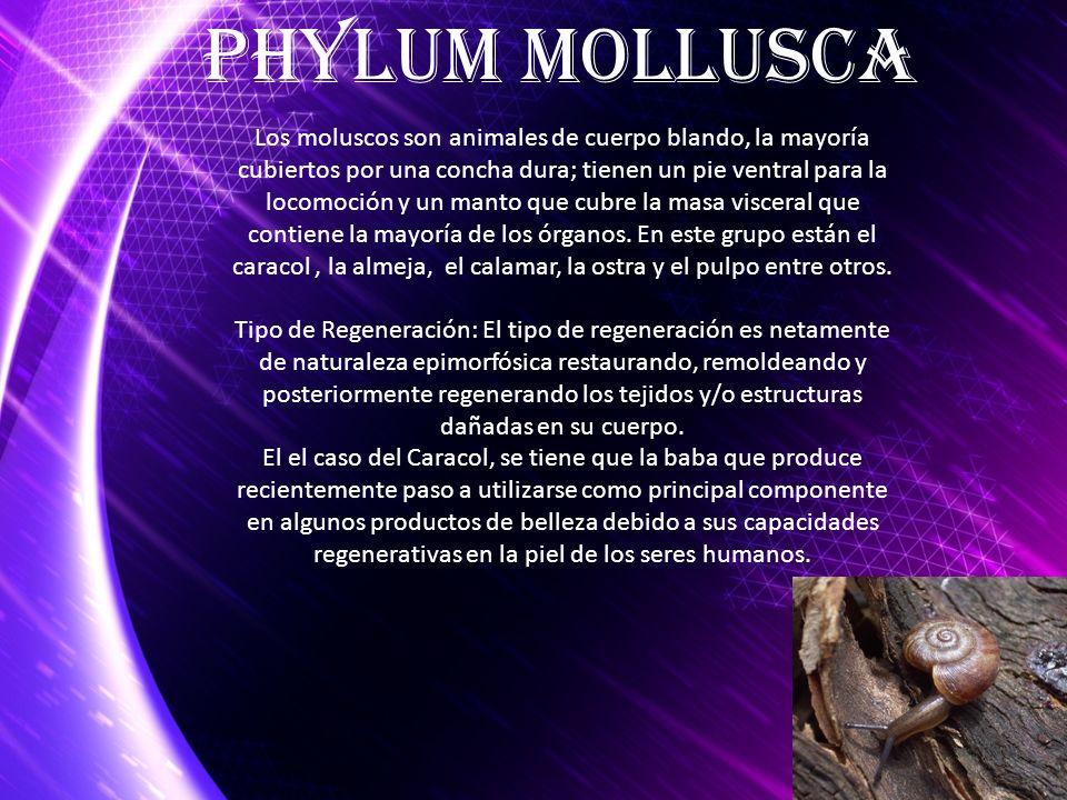 Los moluscos son animales de cuerpo blando, la mayoría cubiertos por una concha dura; tienen un pie ventral para la locomoción y un manto que cubre la