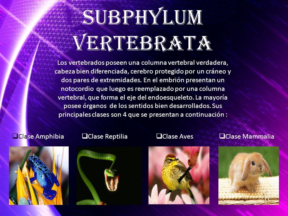 Los vertebrados poseen una columna vertebral verdadera, cabeza bien diferenciada, cerebro protegido por un cráneo y dos pares de extremidades. En el e
