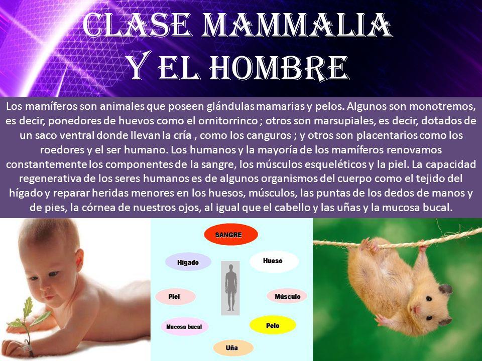Los mamíferos son animales que poseen glándulas mamarias y pelos. Algunos son monotremos, es decir, ponedores de huevos como el ornitorrinco ; otros s