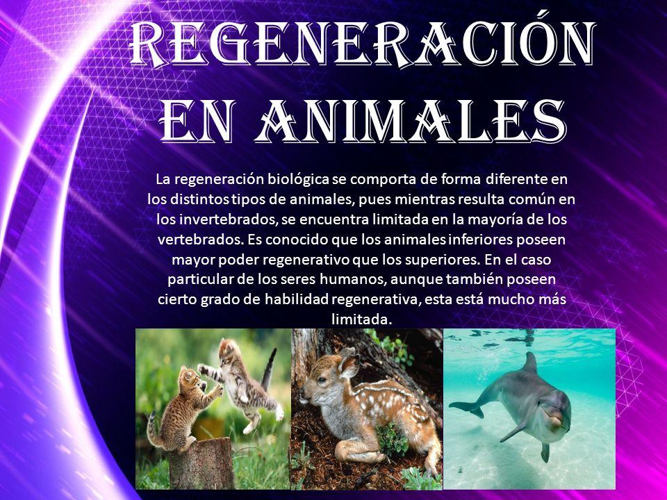 La regeneración biológica se comporta de forma diferente en los distintos tipos de animales, pues mientras resulta común en los invertebrados, se encu