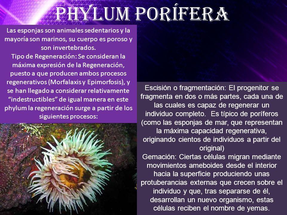 Phylum Porífera Escisión o fragmentación: El progenitor se fragmenta en dos o más partes, cada una de las cuales es capaz de regenerar un individuo co