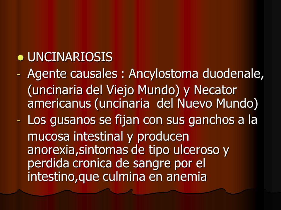 UNCINARIOSIS UNCINARIOSIS - Agente causales : Ancylostoma duodenale, (uncinaria del Viejo Mundo) y Necator americanus (uncinaria del Nuevo Mundo) - Los gusanos se fijan con sus ganchos a la mucosa intestinal y producen anorexia,sintomas de tipo ulceroso y perdida cronica de sangre por el intestino,que culmina en anemia