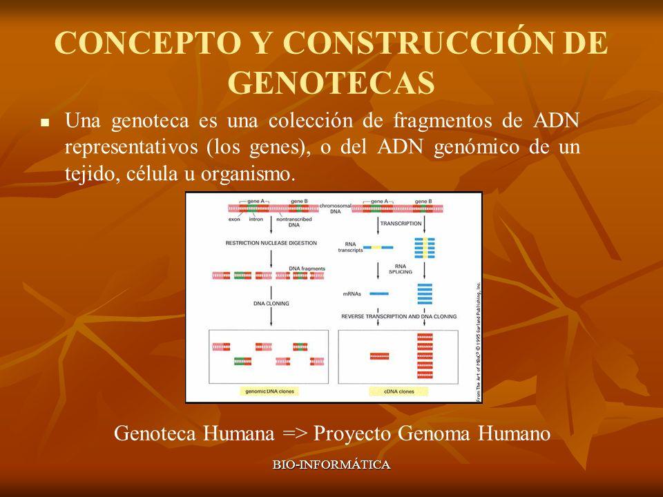BIO-INFORMÁTICA CONCEPTO Y CONSTRUCCIÓN DE GENOTECAS Una genoteca es una colección de fragmentos de ADN representativos (los genes), o del ADN genómic