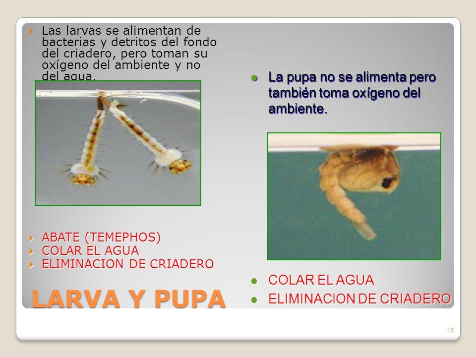 LARVA Y PUPA Las larvas se alimentan de bacterias y detritos del fondo del criadero, pero toman su oxígeno del ambiente y no del agua.