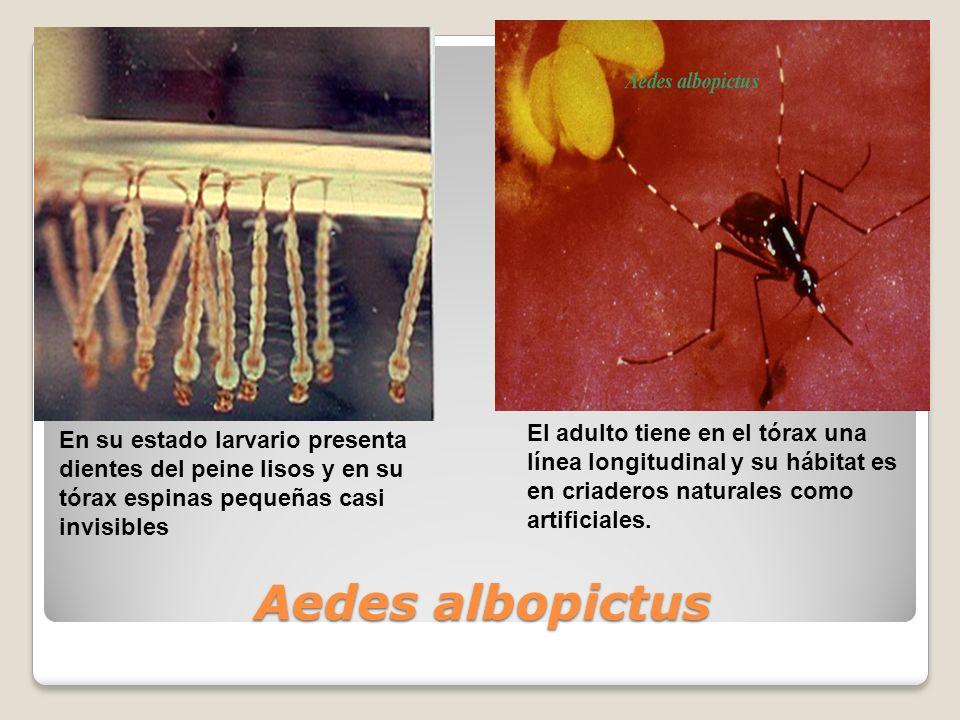 Aedes albopictus En su estado larvario presenta dientes del peine lisos y en su tórax espinas pequeñas casi invisibles El adulto tiene en el tórax una línea longitudinal y su hábitat es en criaderos naturales como artificiales.