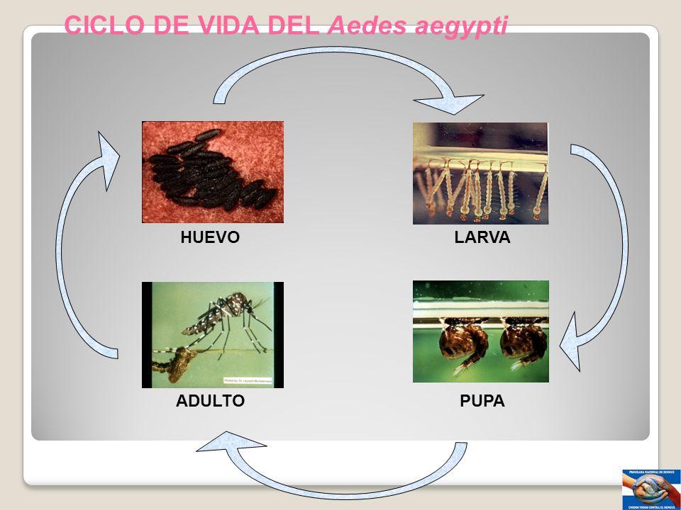 CICLO DE VIDA DEL Aedes aegypti HUEVOLARVA ADULTOPUPA