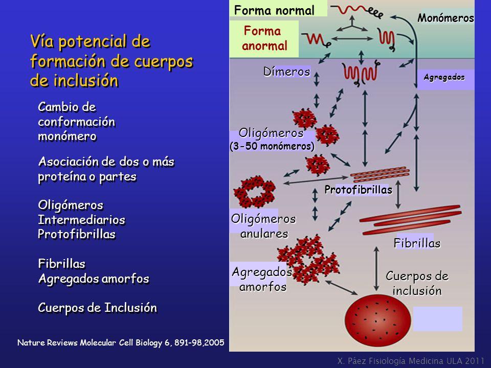 X. Páez Fisiología Medicina ULA 2011 Nature Reviews Molecular Cell Biology 6, 891-98,2005 Vía potencial de formación de cuerpos de inclusión Vía poten
