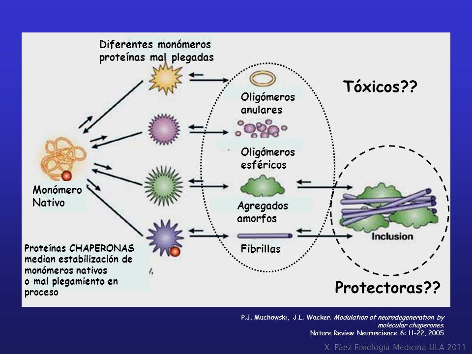 Protectoras?? Tóxicos?? X. Páez Fisiología Medicina ULA 2011 P.J. Muchowski, J.L. Wacker. Modulation of neurodegeneration by molecular chaperones. Nat