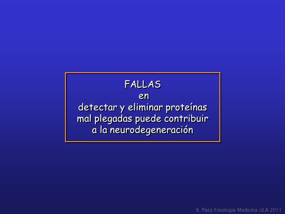 X. Páez Fisiología Medicina ULA 2011 FALLAS en detectar y eliminar proteínas mal plegadas puede contribuir a la neurodegeneración FALLAS en detectar y