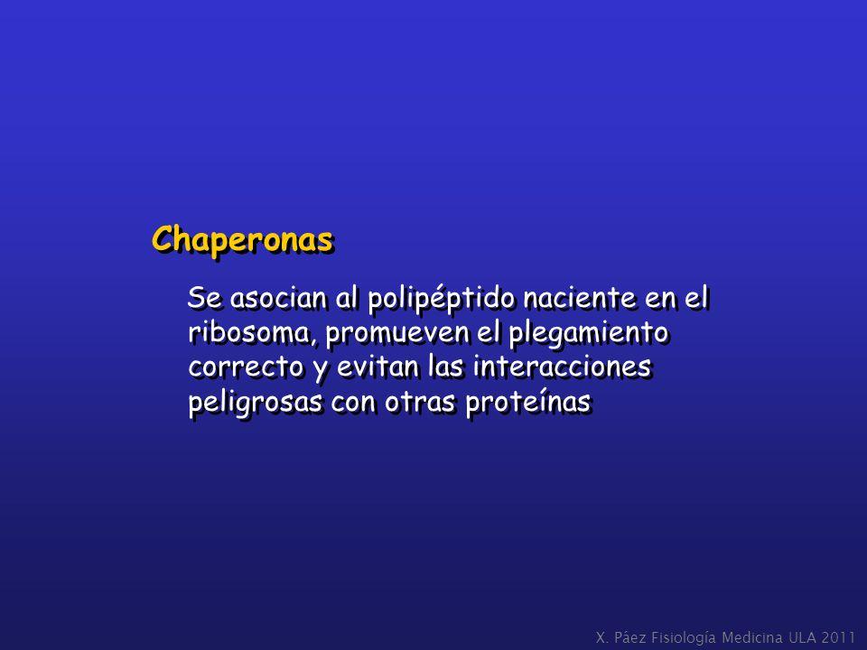 Chaperonas Se asocian al polipéptido naciente en el ribosoma, promueven el plegamiento correcto y evitan las interacciones peligrosas con otras proteí