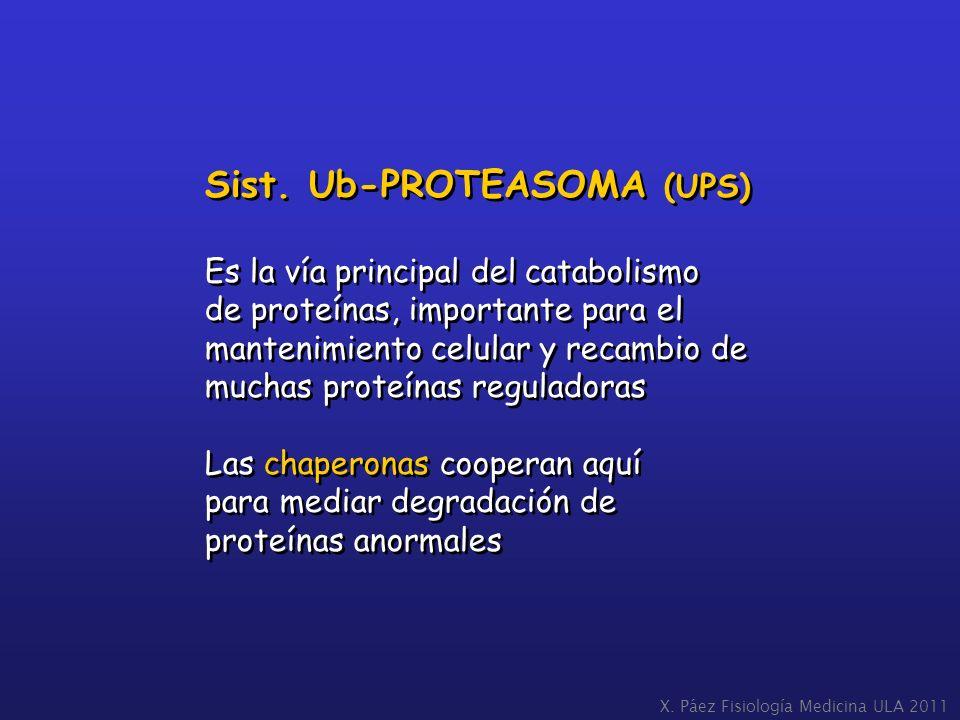 Sist. Ub-PROTEASOMA (UPS) Es la vía principal del catabolismo de proteínas, importante para el mantenimiento celular y recambio de muchas proteínas re