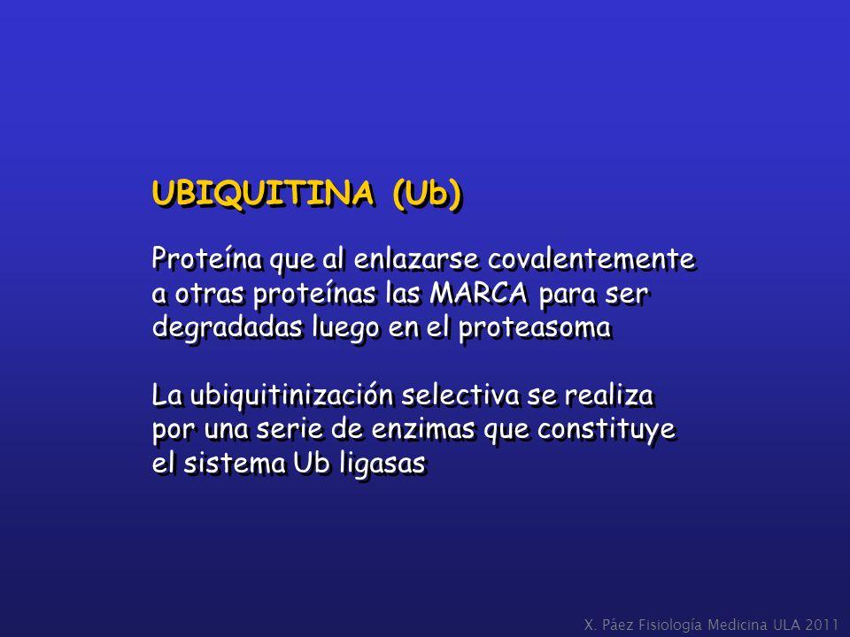UBIQUITINA (Ub) Proteína que al enlazarse covalentemente a otras proteínas las MARCA para ser degradadas luego en el proteasoma La ubiquitinización se