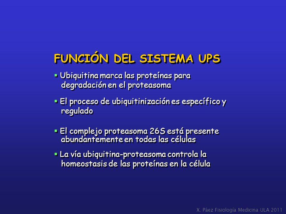 FUNCIÓN DEL SISTEMA UPS Ubiquitina marca las proteínas para degradación en el proteasoma El proceso de ubiquitinización es específico y regulado El co