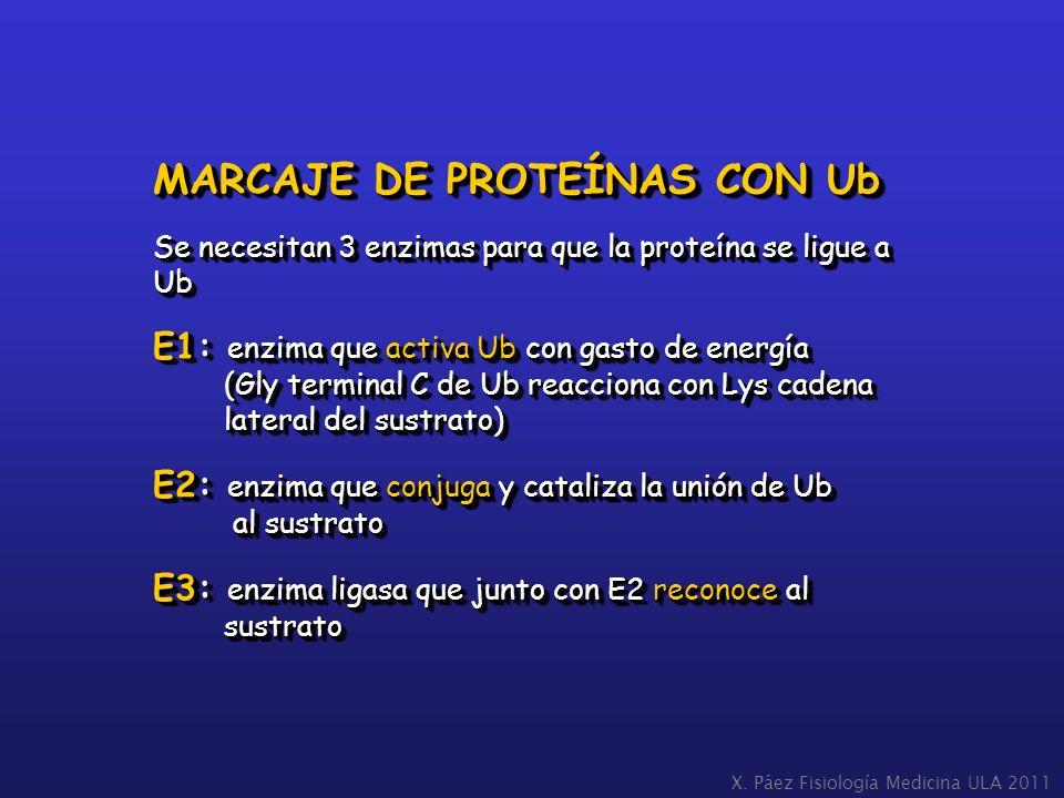 MARCAJE DE PROTEÍNAS CON Ub Se necesitan 3 enzimas para que la proteína se ligue a Ub E1: enzima que activa Ub con gasto de energía (Gly terminal C de