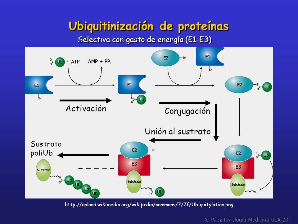 Ubiquitinización de proteínas Activación Conjugación Unión al sustrato Sustrato poliUb http://upload.wikimedia.org/wikipedia/commons/7/7f/Ubiquitylati
