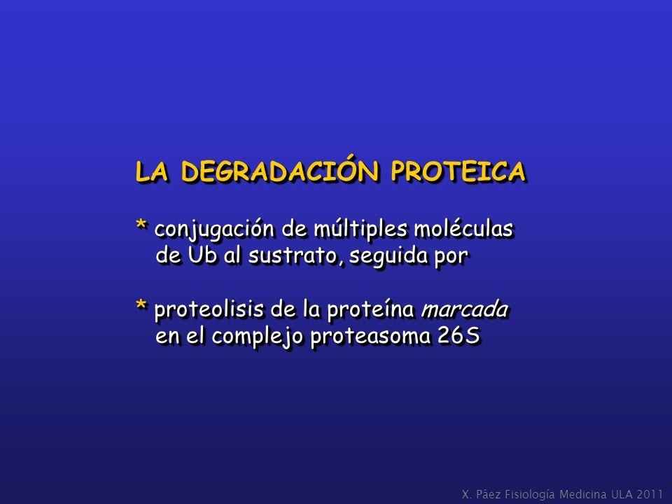 LA DEGRADACIÓN PROTEICA * conjugación de múltiples moléculas de Ub al sustrato, seguida por de Ub al sustrato, seguida por * proteolisis de la proteín