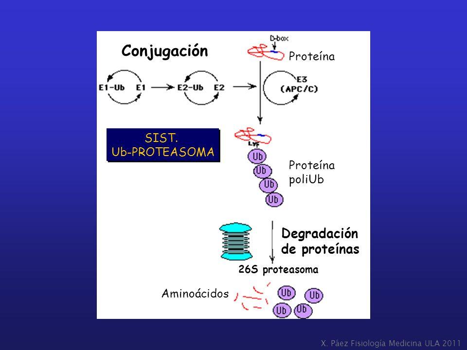 SIST. Ub-PROTEASOMA SIST. Ub-PROTEASOMA Degradación de proteínas 26S proteasoma Proteína poliUb Aminoácidos Conjugación