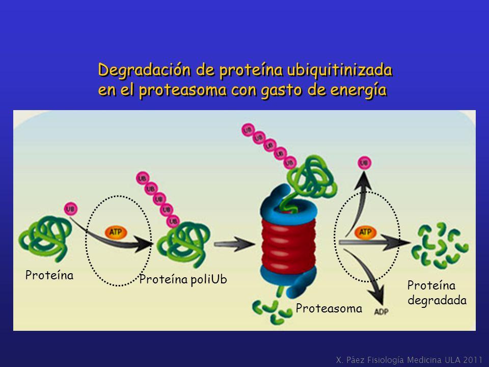 Degradación de proteína ubiquitinizada en el proteasoma con gasto de energía Degradación de proteína ubiquitinizada en el proteasoma con gasto de ener
