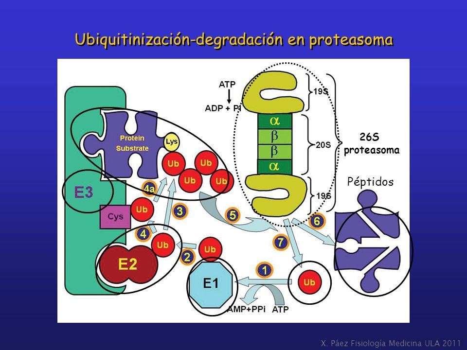 X. Páez Fisiología Medicina ULA 2011 Ubiquitinización-degradación en proteasoma Péptidos 26S proteasoma