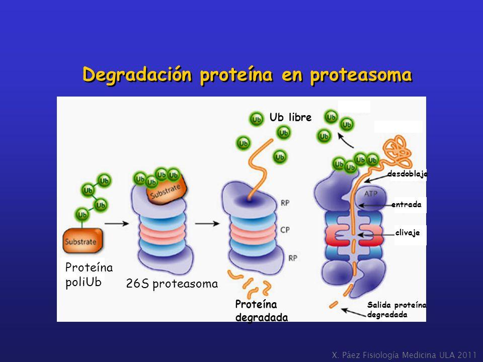 Degradación proteína en proteasoma X. Páez Fisiología Medicina ULA 2011 desdoblaje entrada clivaje Salida proteína degradada Proteína poliUb 26S prote