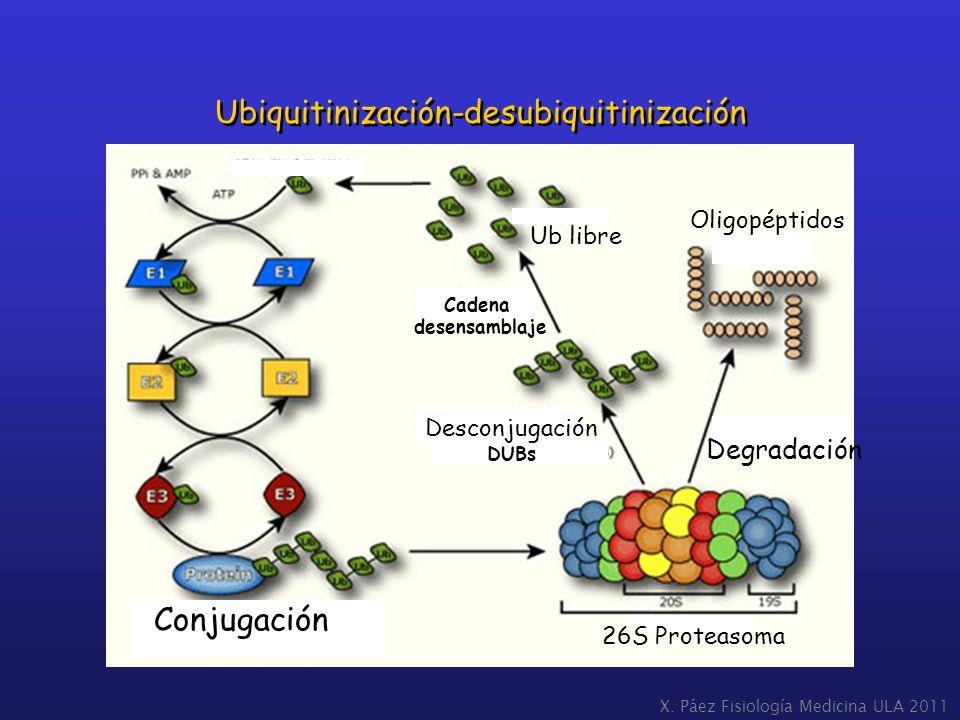 Ubiquitinización-desubiquitinización Conjugación 26S Proteasoma Desconjugación DUBs Degradación Oligopéptidos Cadena desensamblaje Ub libre