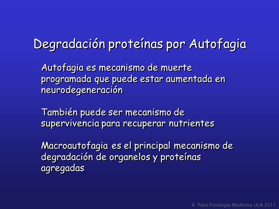 Degradación proteínas por Autofagia Autofagia es mecanismo de muerte programada que puede estar aumentada en neurodegeneración También puede ser mecan