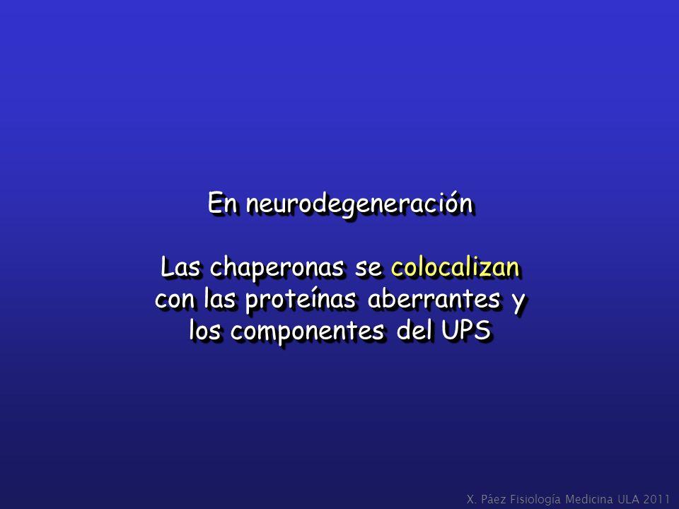 En neurodegeneración Las chaperonas se colocalizan con las proteínas aberrantes y los componentes del UPS En neurodegeneración Las chaperonas se coloc