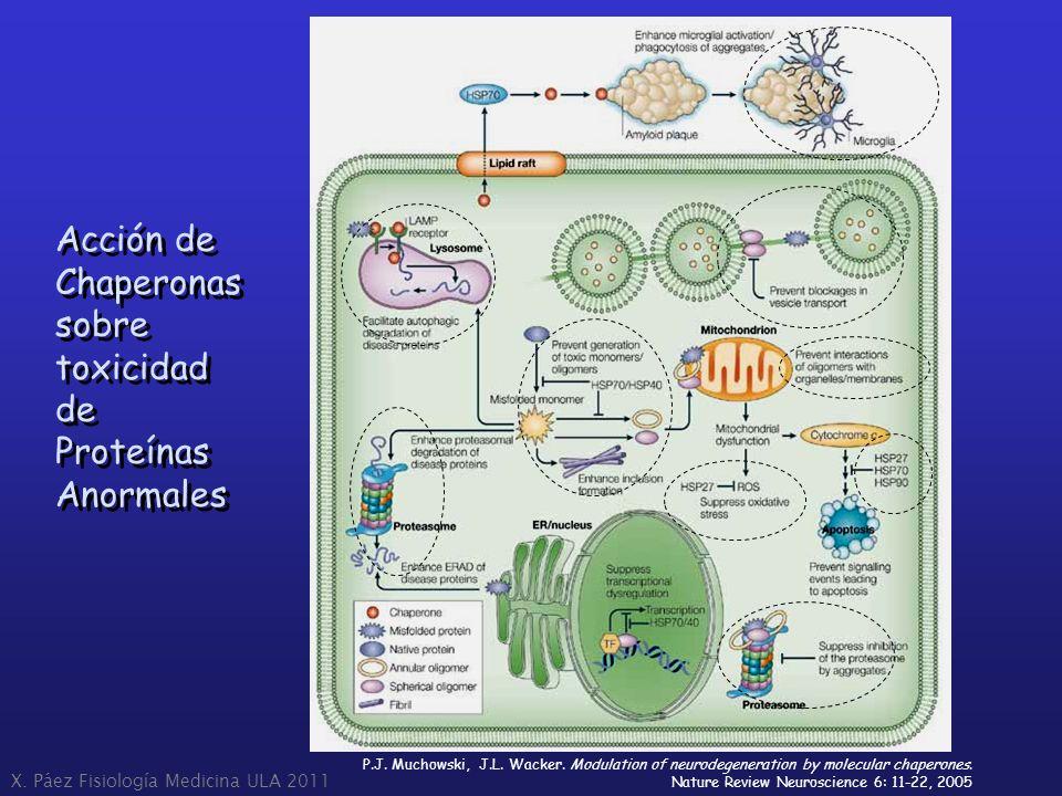 Acción de Chaperonas sobre toxicidad de Proteínas Anormales Acción de Chaperonas sobre toxicidad de Proteínas Anormales P.J. Muchowski, J.L. Wacker. M