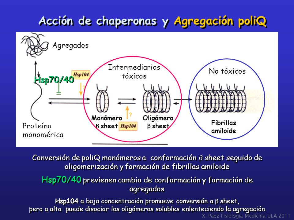 Conversión de poliQ monómeros a conformación sheet seguido de oligomerización y formación de fibrillas amiloide Hsp70/40 previenen cambio de conformac