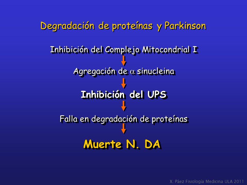 Inhibición del Complejo Mitocondrial I Agregación de sinucleina Inhibición del UPS Falla en degradación de proteínas Muerte N. DA Inhibición del Compl